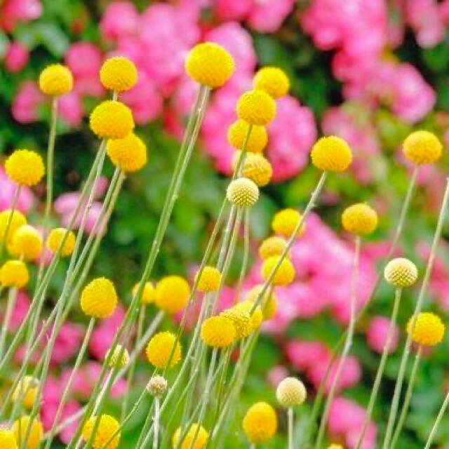 とんとん6898様 クラスペディアとカタナンケと月見草 ハンドメイドのフラワー/ガーデン(プランター)の商品写真