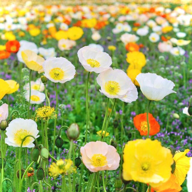 【極寒の宝石】アイスランドポピー☆カラフルミックス 種 200粒以上! ハンドメイドのフラワー/ガーデン(プランター)の商品写真