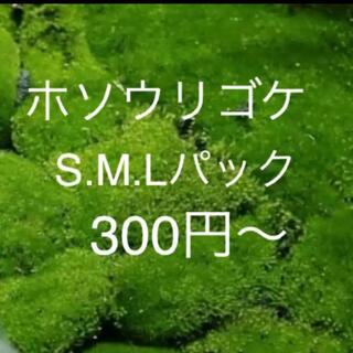 ホソウリゴケ(その他)