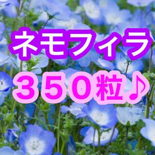 【説明書付き!】ネモフィラ インシグニスブルー 350粒以上!(その他)