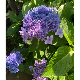 珍しいグラデーション紫陽花2種色紫ピンク挿木挿し苗(プランター)