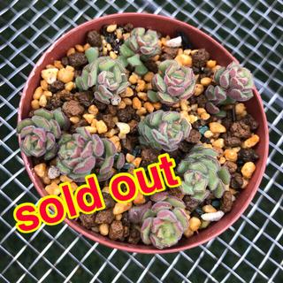 売り切れ‼️多肉植物♠スプリングワンダー(その他)