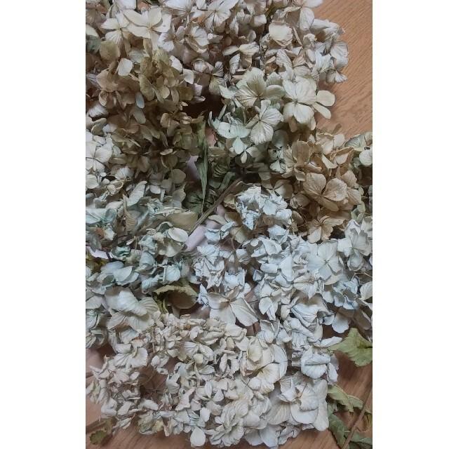 SALE! アジサイ ドライフラワー レモンイエロー~クリーム~ベージュ 10 ハンドメイドのフラワー/ガーデン(ドライフラワー)の商品写真