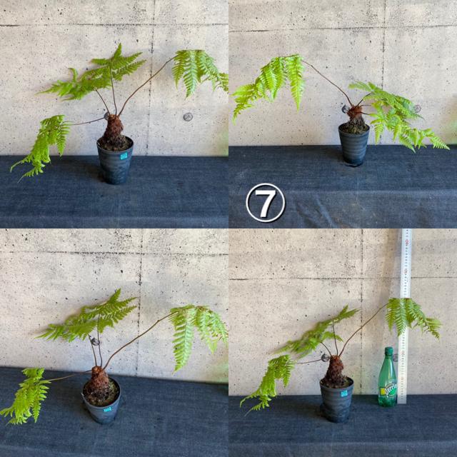 希少シダ植物! カツモウイノデ 1鉢 ※送料込み ハンドメイドのフラワー/ガーデン(その他)の商品写真