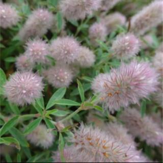 シャグマハギ(トリフォリウム・アルヴェンセ)*種150粒(その他)