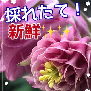 種 西洋オダマキ 100粒(その他)