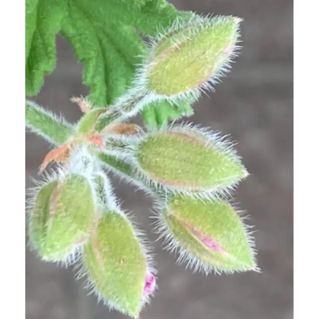 C  抜き苗 美形 苗 薔薇、檸檬、ミントの香り レディープリマスゼラニウム ハンドメイドのフラワー/ガーデン(プランター)の商品写真