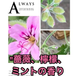 C  抜き苗 美形 苗 薔薇、檸檬、ミントの香り レディープリマスゼラニウム(プランター)