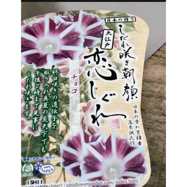 ①  2苗 恋しぐれ チョコ しだれ咲き朝顔 ハンドメイドのフラワー/ガーデン(プランター)の商品写真