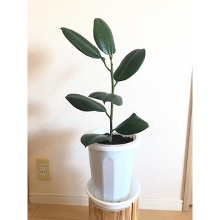 直接受け渡しのみ‼️【観葉植物】フィカスバーガンディ(65cm)④(ゴムの木)(プランター)