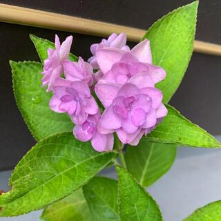 紫陽花(根付き苗)④(その他)