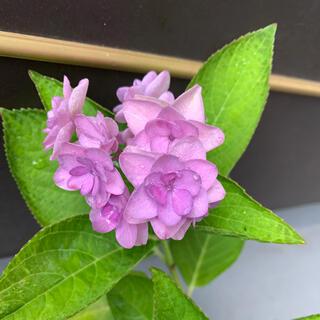 紫陽花(根付き苗)⑤(その他)