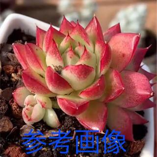 多肉植物 Dream queen  韓国苗新品種(その他)