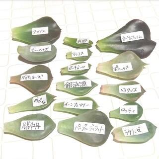 16種類 多肉植物 葉挿し(その他)