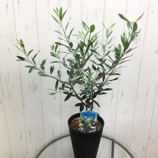 現品 オリーブの木 レッチーノ 5号 セラアート鉢 ブラック(プランター)