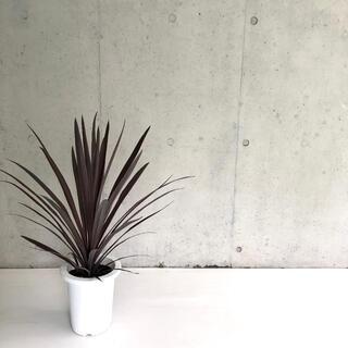 観葉植物 ドラセナ コルジリネ レッドセンセーションH77cm 7号 送料無料!(その他)