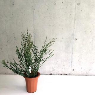 観葉植物 ユーカリ ムーンラグーン H80cm 7号 希少種 送料無料!(その他)