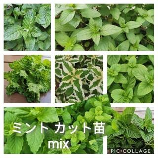猫吸い鼻炎侍様 ミント カット苗 mix(その他)