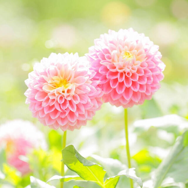 ひろ様 ダリアとピコティ ハンドメイドのフラワー/ガーデン(プランター)の商品写真