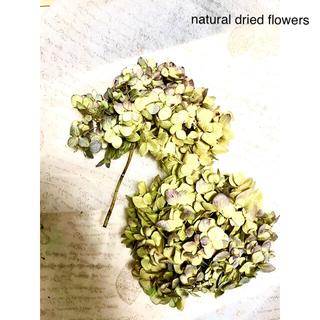 ナチュラルドライフラワー 薄紫色のハイドランジア えだありと枝なし 2つセット(ドライフラワー)