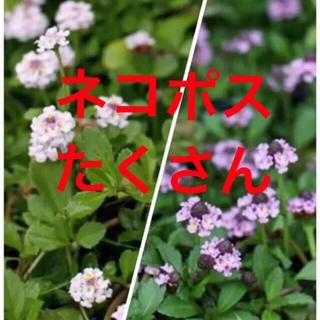グランドカバー!ヒメイワダレソウ  リッピア 根付き苗‼️(その他)
