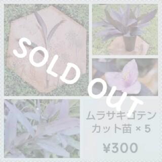 ムラサキゴテン(パープルハート、セトクレアセア)挿し穂 × 5  ¥300(その他)