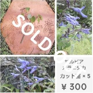 サルビア『ガラニチカ』カット苗 × 5  ¥300(その他)
