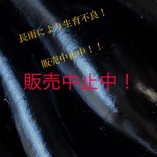 茄子 ◉なす80サイズ約3キロ◉+おまけ夏野菜♡(野菜)