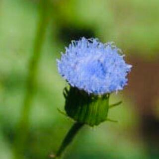 花の苗 カカリア ブルーマジック 苗(その他)