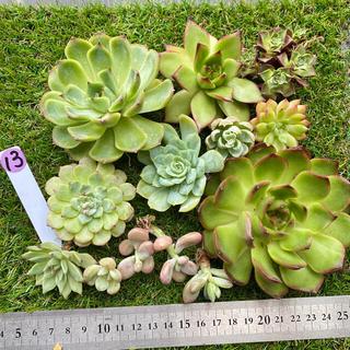 紫13  多肉植物 韓国苗 寄せ植えセット(その他)