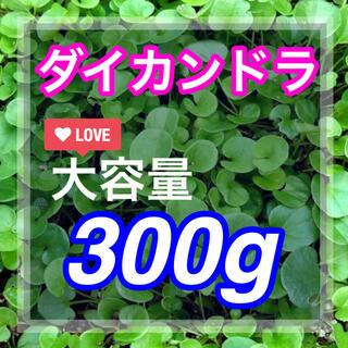 【まき時】ダイカンドラ ディコンドラ 300g種子。《21平米》芝生へ(その他)