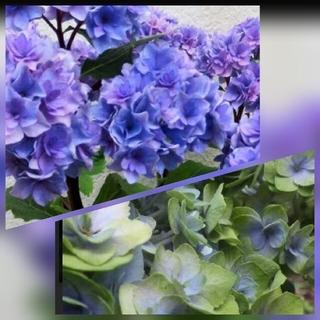 人気 紫陽花 秋色 アンティーク 八重 黒軸 苗 花苗 アジサイ ユーミー(プランター)
