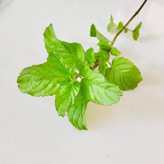 オレンジミント フレッシュ <ケミカルGMOフリー栽培>(野菜)