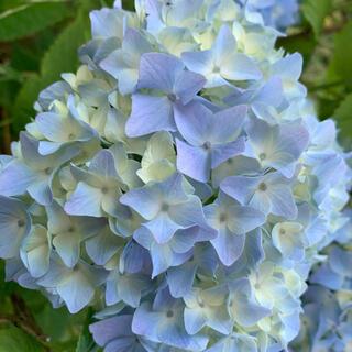 紫陽花 挿し穂 2本 ■送料無料 2節付 挿し木 珊瑚ブルー 純水色 美しい(プランター)