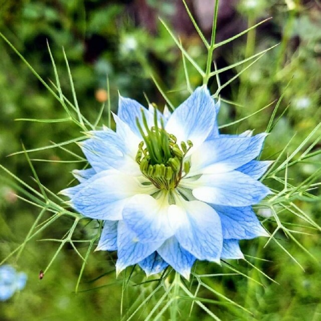🌺花の種  ニゲラ ペルシャンジェル ハンドメイドのフラワー/ガーデン(プランター)の商品写真