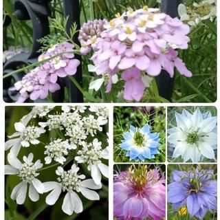 ♥花の種 イベリスキャンディタフト ニゲラ オルレア(プランター)