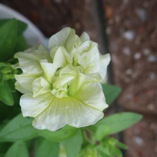八重咲き ペチュニア 挿し穂3本 白(その他)
