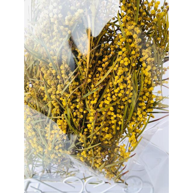 希少品種!シルバーワルト ミモザドライフラワー ハンドメイドのフラワー/ガーデン(ドライフラワー)の商品写真