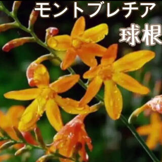 407)かんたん♪モントブレチア球根(苗花タネ植物クロコスミアガーデニング(その他)