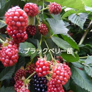①五百円玉位の実がなるブラックベリー苗 トゲなし 大実➕おまけ付き(その他)