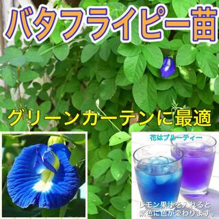 バタフライピー苗 2鉢(プランター)
