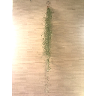 ウスネオイデス 細葉 長さ80cm  ロングサイズ エアープランツ(その他)