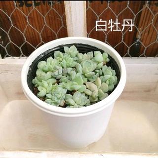 多肉植物  抜き苗 ꔛꕤ 白牡丹丼(その他)