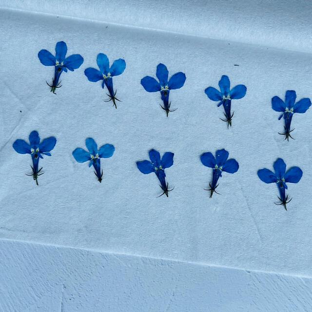 ハンドメイド資材 ドライフラワー ロベリア ブルー ハンドメイドのフラワー/ガーデン(ドライフラワー)の商品写真