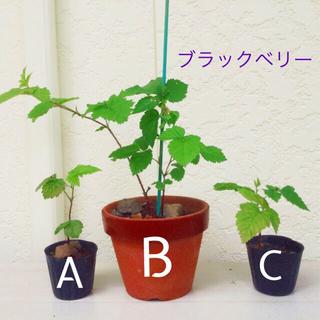 ブラックベリー 苗 C 無農薬(その他)