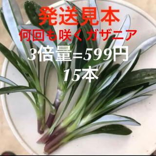 ☆何回も咲くガザニア☆3倍量=何と599円‼️(プランター)