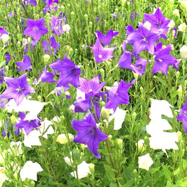 【昔から愛される日本の花!】桔梗☆キキョウ 種 カラフルミックス200粒以上! ハンドメイドのフラワー/ガーデン(プランター)の商品写真