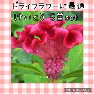 花苗ケイトウ ×5苗(その他)