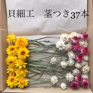 (19)貝細工 ヘリクリサム ドライフラワー ワイヤー付き 茎付き(ドライフラワー)