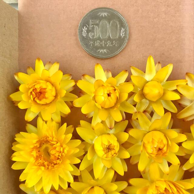 (21)貝細工 ヘリクリサム ドライフラワー 黄色 15個 ハンドメイドのフラワー/ガーデン(ドライフラワー)の商品写真